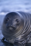 Southern Elephant Seal Pup Photographic Print by  DLILLC