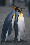 King Penguins Leaning on Each Other Reproduction photographique par  DLILLC