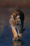 Bengal Tiger Walking on Beach Photographic Print by  DLILLC