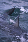 Great White Shark Surfacing Photographic Print by  DLILLC