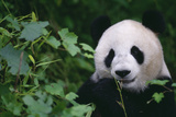 Giant Panda in Forest Photographic Print by  DLILLC