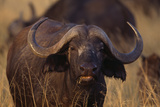 African Buffalo Photographic Print by  DLILLC