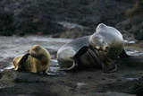 Galapagos Sea Lion and Pup on Rocks Photographic Print by  DLILLC