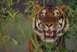 Bengal Tiger in Bamboo Photographic Print by  DLILLC