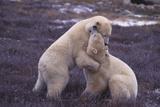 Polar Bears Hugging Photographic Print by  DLILLC