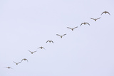 Snow Geese Flying in Formation Photographic Print by  DLILLC
