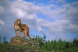 Cougar Growling on Rock Photographic Print by  DLILLC