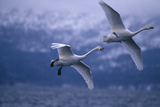 Whooper Swans Flying over Water Impressão fotográfica por  DLILLC