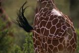 Reticulated Giraffe Swishing Tail Photographic Print by  DLILLC