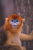 Golden Snub-Nosed Monkey Photographic Print by  DLILLC