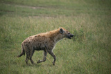 Brown Hyena Running in Grass Photographic Print by  DLILLC