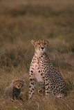 Cheetah with Cub Photographic Print by  DLILLC