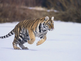 Bengal Tiger Running in Snow Photographic Print by  DLILLC