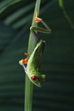 Red Eyed Tree Frog Hanging from Plant Photographic Print by  DLILLC