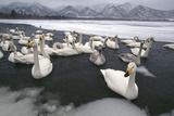 Whooper Swans on Icy Lake Impressão fotográfica por  DLILLC