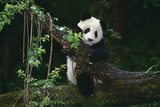 Giant Panda Climbing Tree Reproduction photographique par  DLILLC