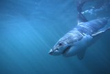 Great White Shark Swimming Photographic Print by  DLILLC