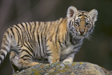 Bengal Tiger Cub on Rocks Photographic Print by  DLILLC