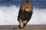 African Lion Running on Beach Photographic Print by  DLILLC