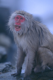 Japanese Macaque on Rock Photographic Print by  DLILLC