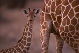 Reticulated Giraffe Calf Photographic Print by  DLILLC
