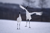 Red-Crowned Cranes in Courtship Display Photographic Print by  DLILLC