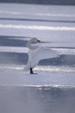 Whooper Swan Standing on Ice Photographic Print by  DLILLC