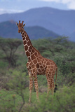 Reticulated Giraffe in Trees Photographic Print by  DLILLC