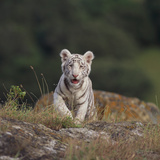 White Bengal Tiger Cub on Rocks Reprodukcja zdjęcia autor DLILLC