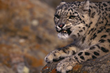 Snow Leopard Snarling on Rock Photographic Print by  DLILLC