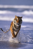 Bengal Tiger Running in Surf Photographic Print by  DLILLC