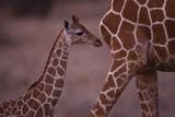 Baby Giraffe Photographic Print by  DLILLC