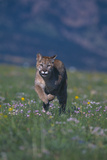 Cougar Running through Meadow Photographic Print by  DLILLC
