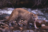 Cougar Licking His Lips Photographic Print by  DLILLC