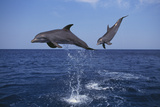Bottlenosed Dolphins Leaping Photographic Print by  DLILLC