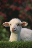 Lamb in Grass Photographic Print by  DLILLC