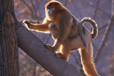 Golden Snub-Nosed Monkey with Baby Climbing Tree Photographic Print by  DLILLC