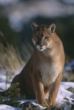 Cougar in Snow Photographic Print by  DLILLC