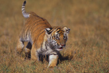 Bengal Tiger Cub Walking in Grass Photographic Print by  DLILLC