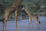 Masai Giraffe and Calf in River Photographic Print by  DLILLC