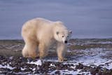 Polar Bear Walking on Rocks Photographic Print by  DLILLC