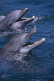 Bottlenose Dolphins with Mouths Open Photographic Print by  DLILLC