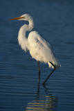 Great Egret Walking in Water Photographic Print by  DLILLC