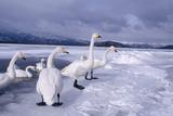 Whooper Swans on Frozen Lake Impressão fotográfica por  DLILLC