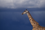 Masai Giraffe Photographic Print by  DLILLC