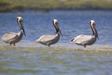 Three Brown Pelicans Papier Photo par  DLILLC