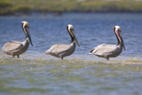 Three Brown Pelicans Photographic Print by  DLILLC