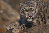 Snow Leopard on Rock Photographic Print by  DLILLC