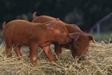 Duroc Piglets Photographic Print by  DLILLC