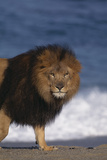 African Lion Standing on Beach Photographic Print by  DLILLC